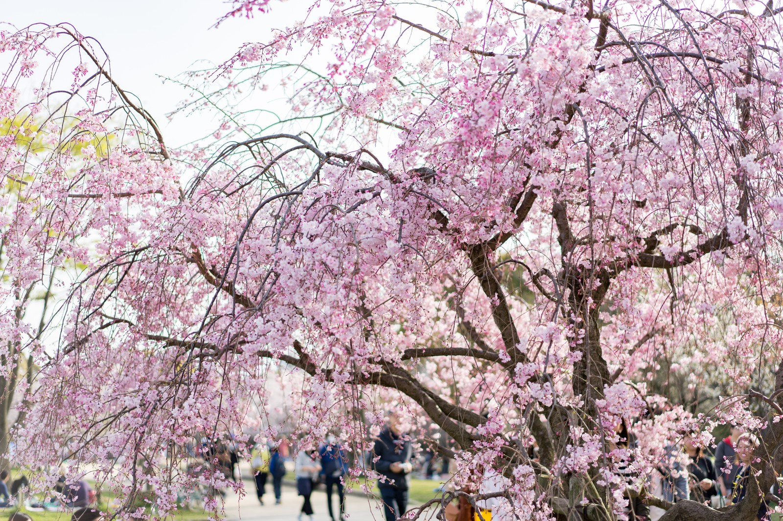 大濠公園の桜